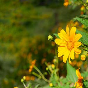 Cây thuốc Cúc hoa vàng